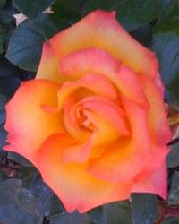 Roses_002